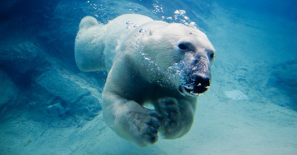 Bild zeigt einen Eisbaeren