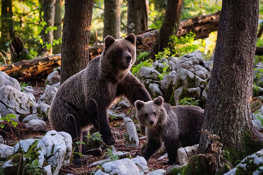 Umgang mit Bären in Kanada: Bärenfamilie im Wald