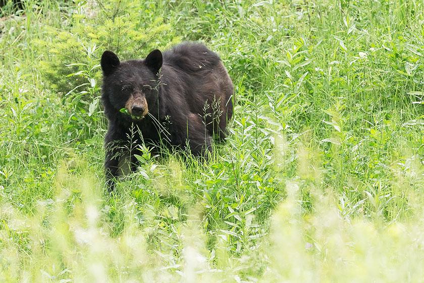 Schwarzbär im Gebüsch