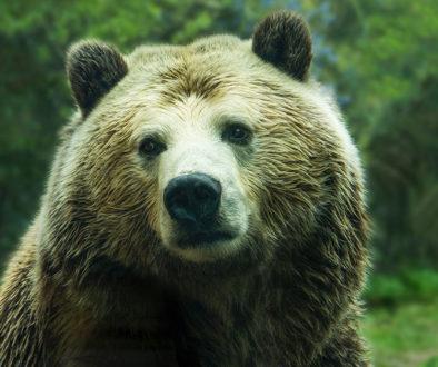 Bild zeigt einen Grizzly Bär