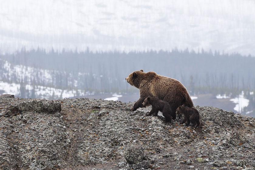 Grizzlybären auf einer Wiese